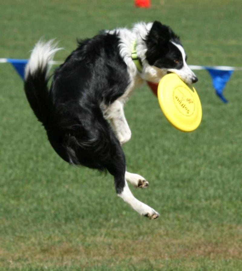 Dog Catching Frisbee Training