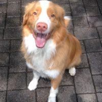 duck tolling retriever